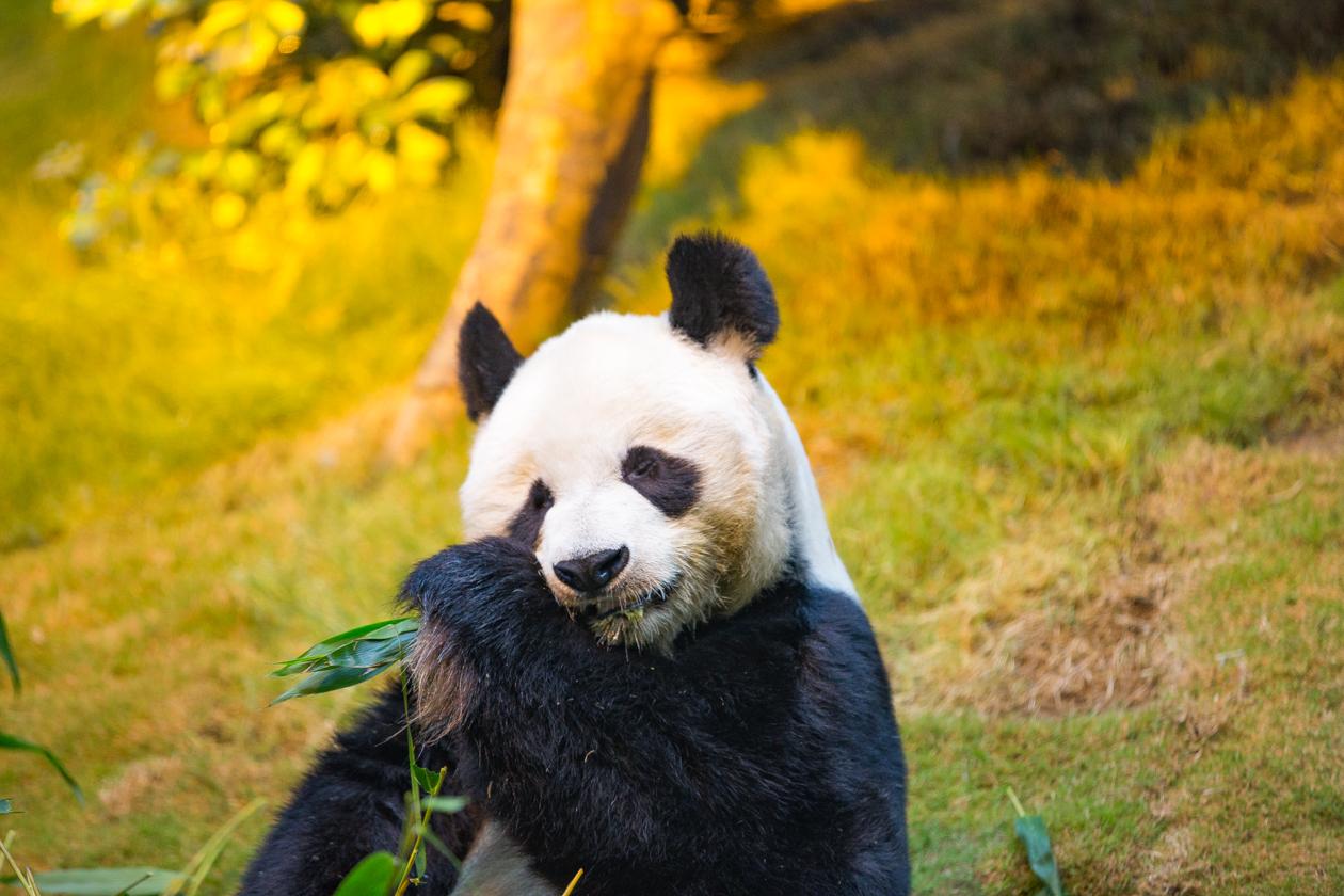 5x-hongkong-reuzenpanda