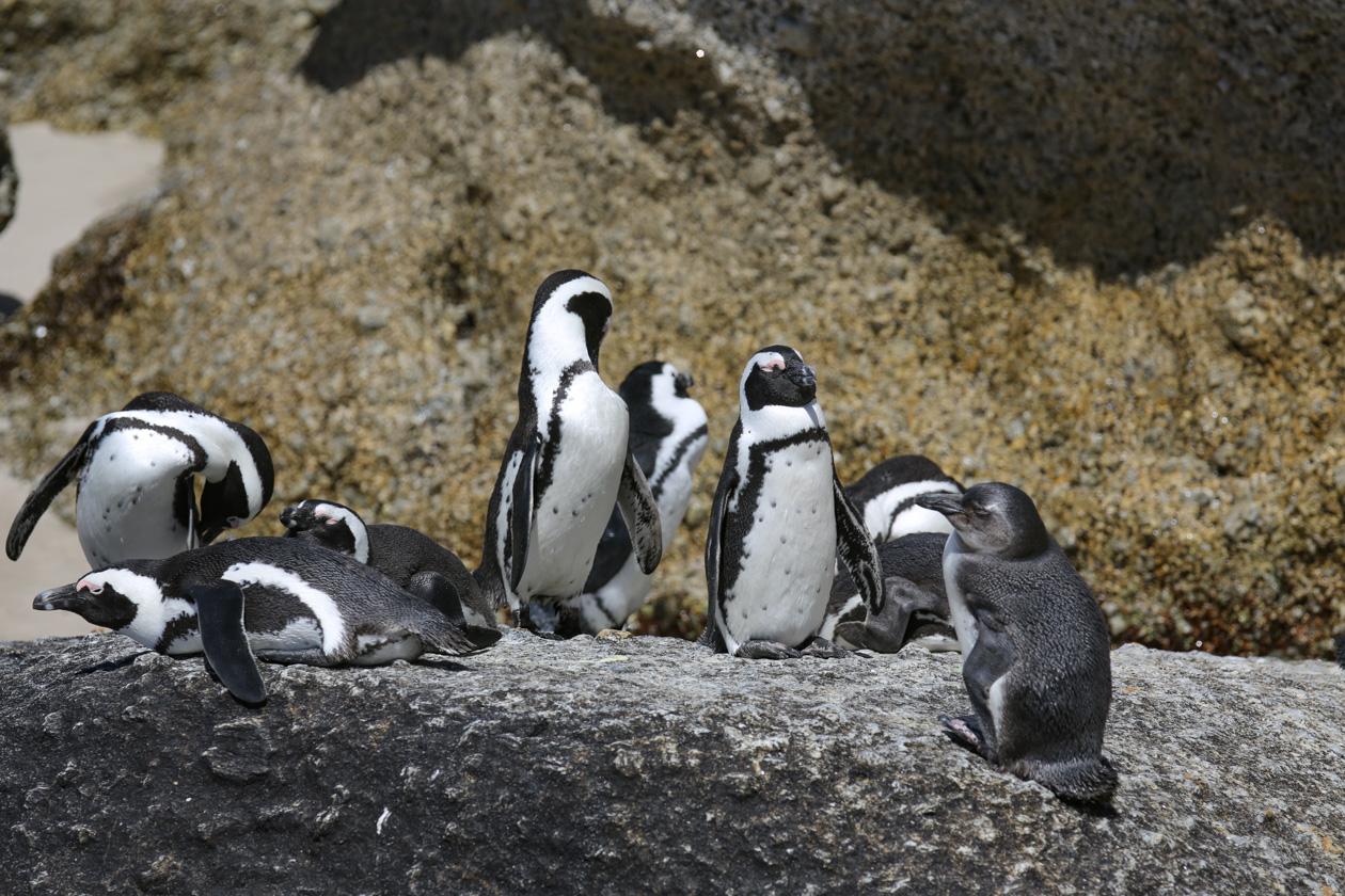 Pinguïns in de buurt van Kaapstad